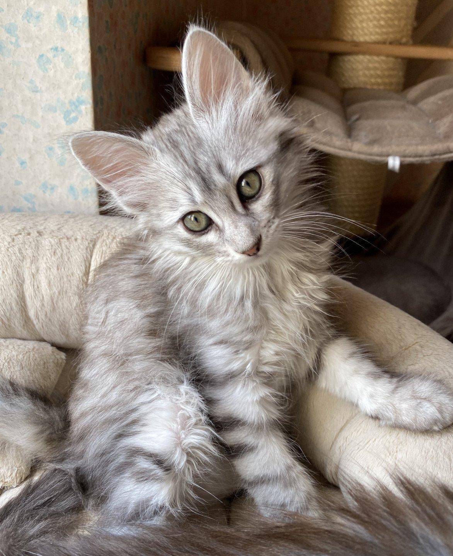 Nedelja Messenger Dlesni Cat Angora Turk A Vendre A Dans Mcplayrec Org