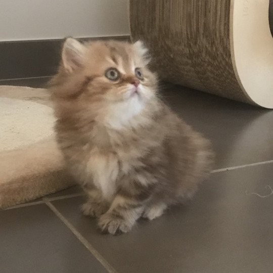 Pigalle Folie's Star Chance British Longhair chocolate tortie blotched tabby