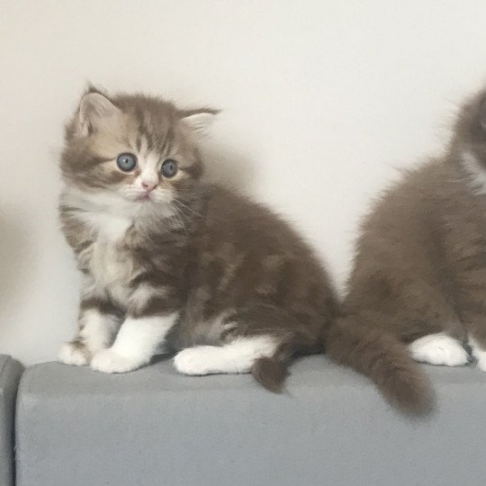 Pop'Earth Champagne Star Chance British Longhair chocolate silver blotched tabby & blanc