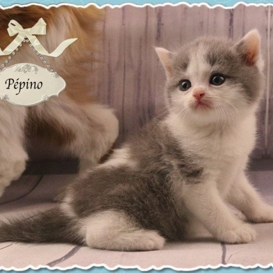 PÉPINO British Shorthair blue & blanc