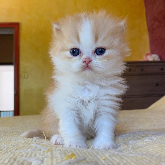 Nueno Highland Straight red blotched tabby & blanc