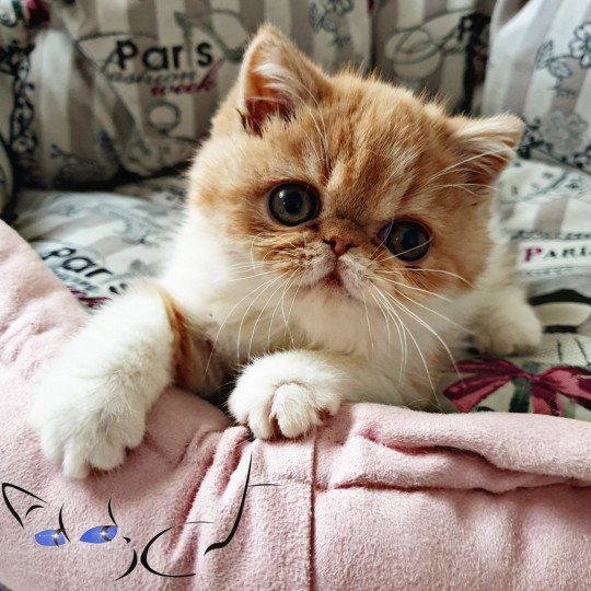 Addict Pumpkin Exotic Shorthair red & blanc