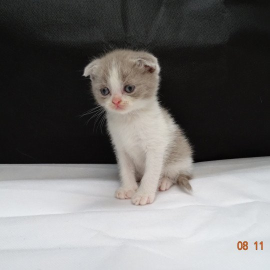 Pirate d'apparence Scottish Fold lilac
